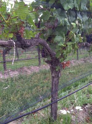 Vineyard- Bird & Bug Netting